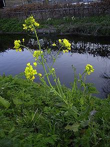 220px-Brassica_rapa_plant
