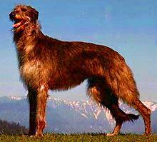 220px-Deerhound._F's_K