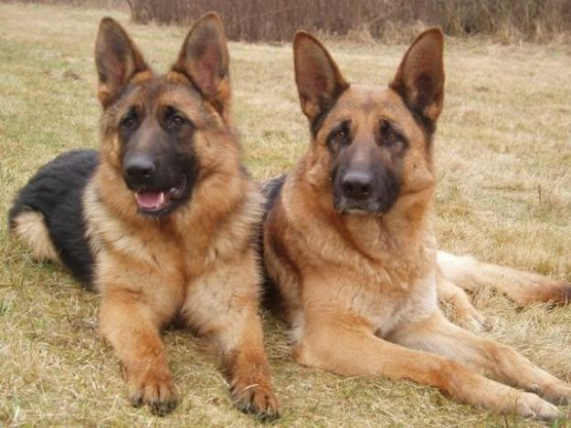 Image result for German Shepherd 犬 抱きしめる