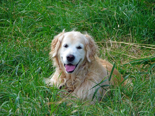 golden-retriever-163968_640