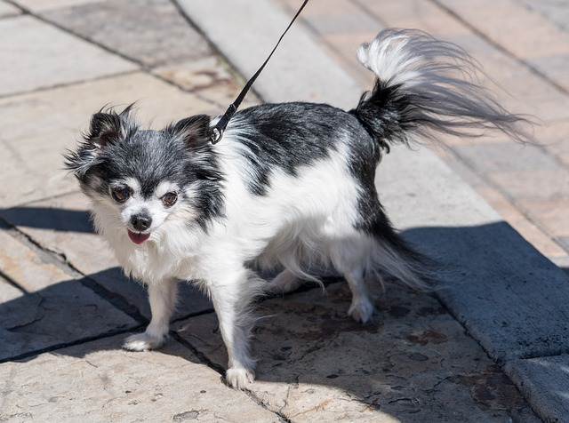 long-haired-chihuahua-1710865_640