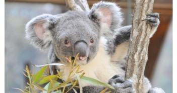 kkobe-koala