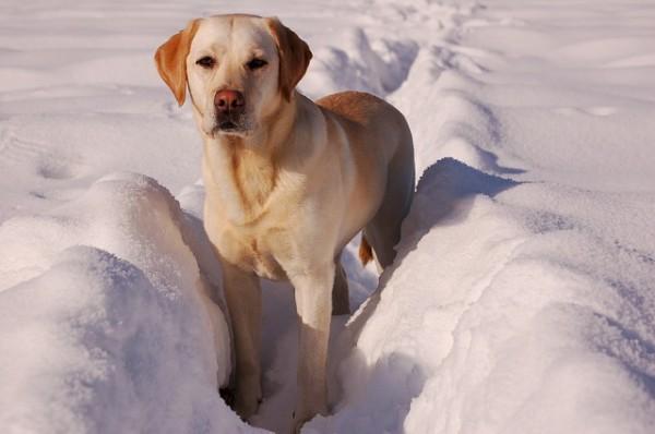 yellow-labrador-retriever-742085_640