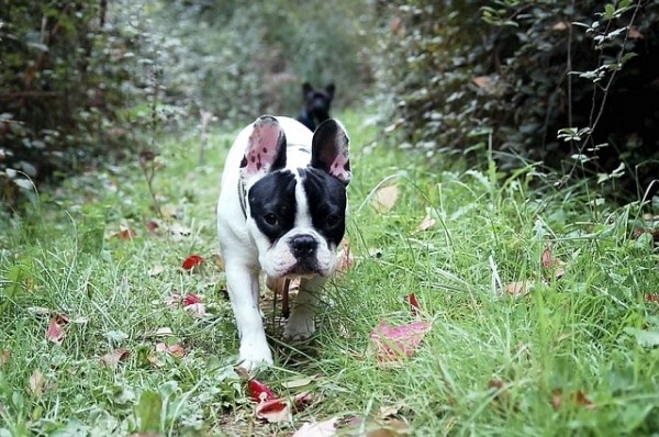 bulldog-144012_640-min