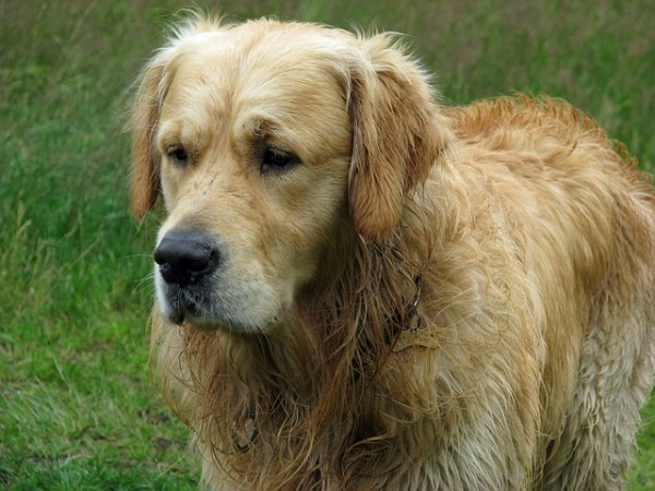 golden-retriever-76287_640
