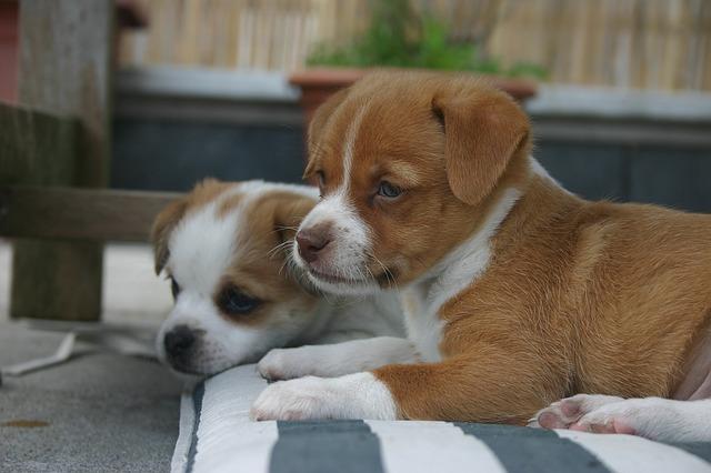 puppies-1105730_640