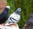 pigeons-1242067_640