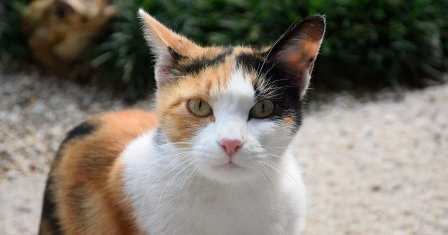 三毛猫の性格はきつい?その特徴は。