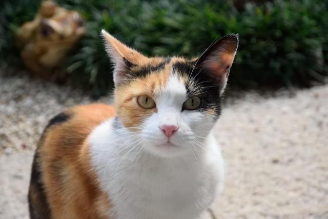 三毛猫の画像 p1_21
