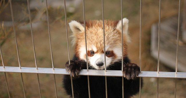 レッサーパンダに会える動物園10選