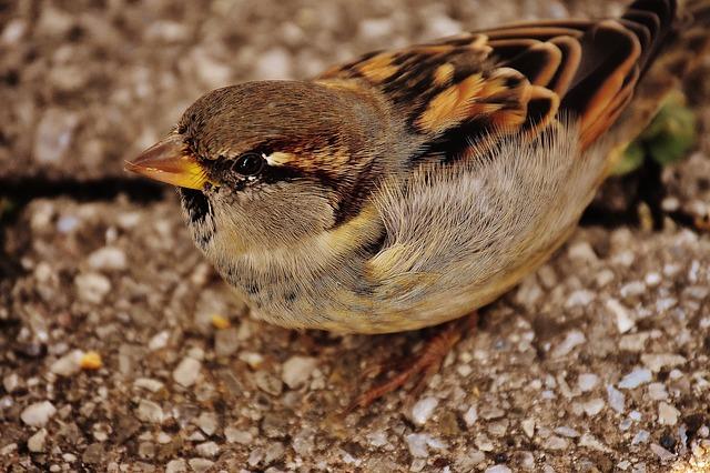 sparrow-1691558_640