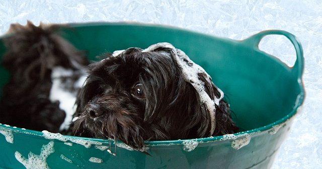 犬のシャンプーはいつから?頻度やコツ、おすすめシャンプーは?
